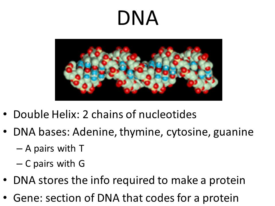 DNA Double Helix: 2 chains of nucleotides