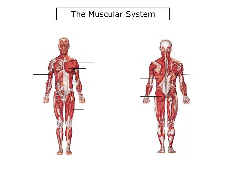 7th grade health muscular system 2 ppt download
