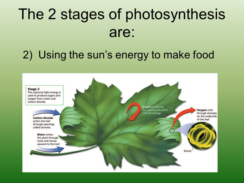stages of photosynthesis Photosynthesis occurs in two stages in the first stage, light-dependent reactions or light reactions capture the energy of light and use it to make the energy.