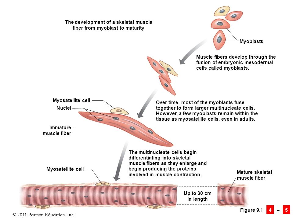 9 Skeletal Muscle Tissue. - ppt download