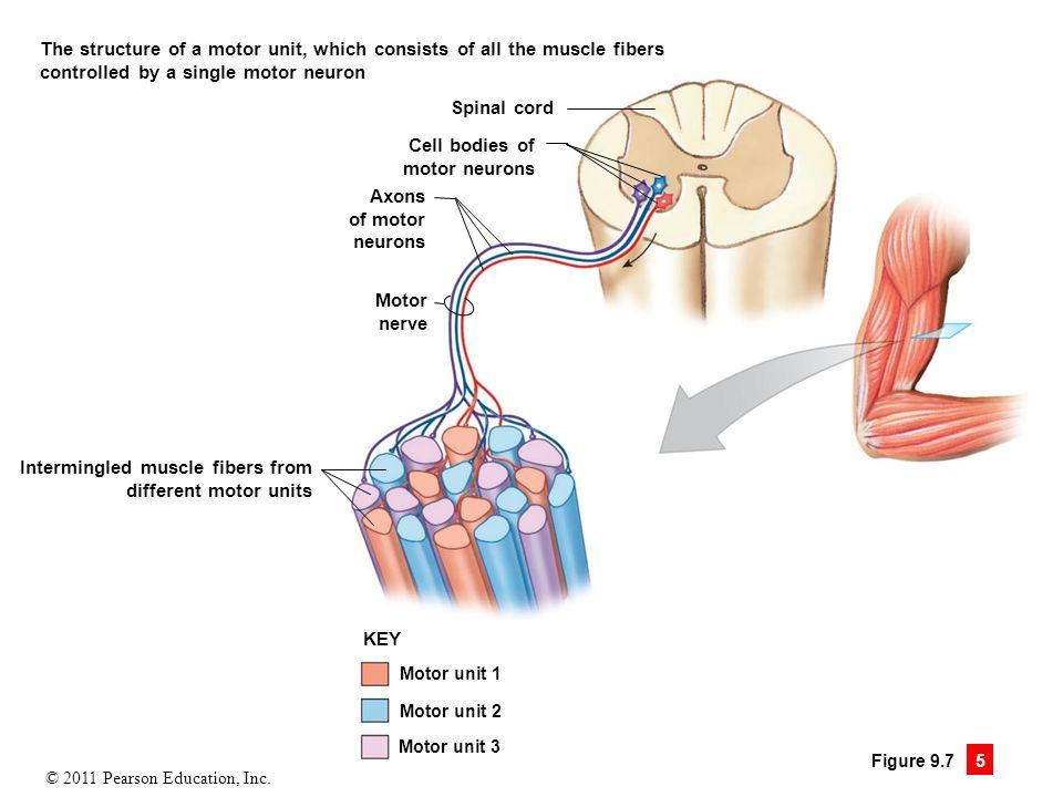 Anatomy Motor Unit