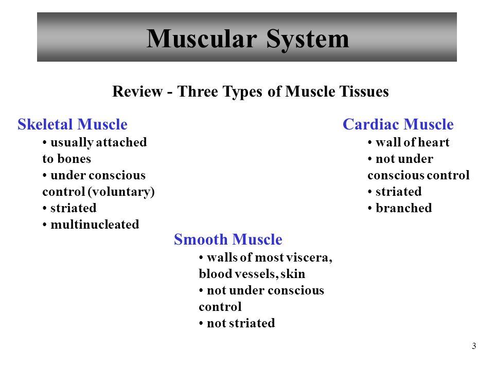 Fantastisch Anatomy And Physiology Muscle Tissue Zeitgenössisch ...
