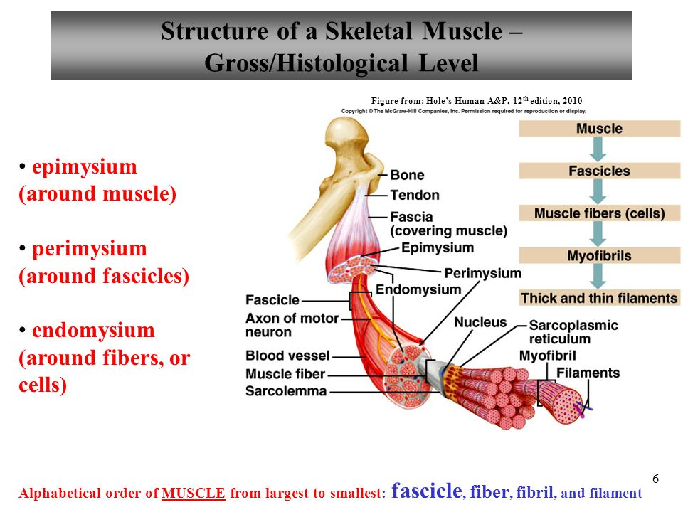 muskosceletal physiology
