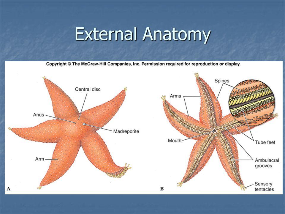 Starfish External Anatomy