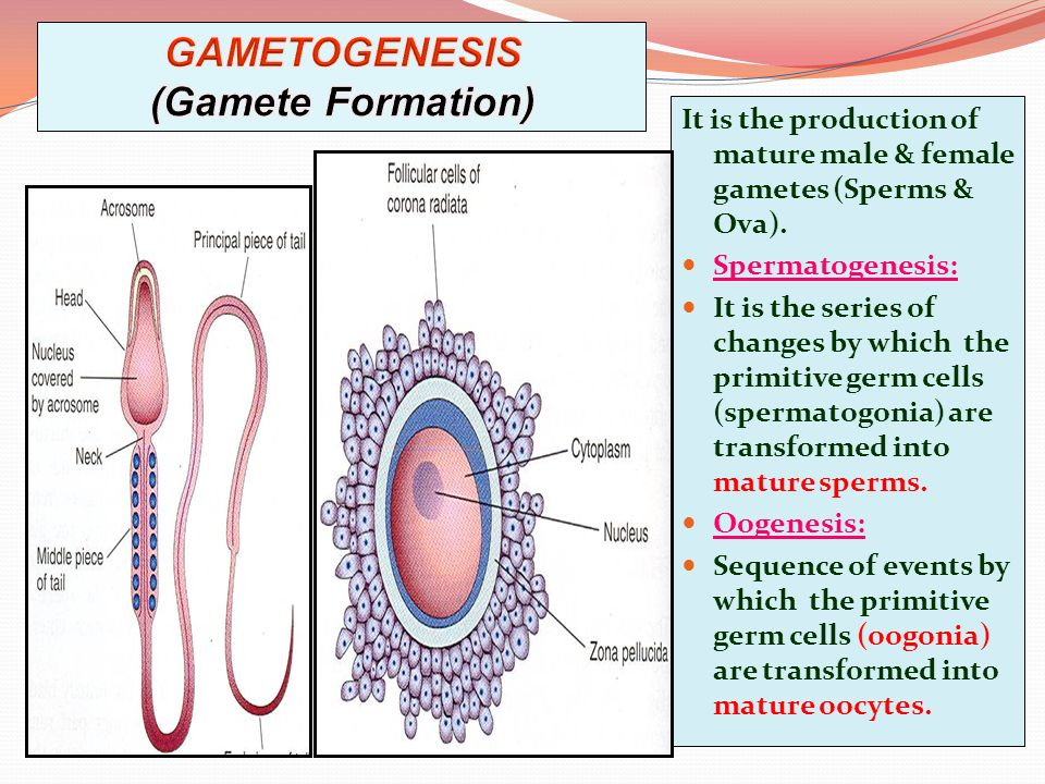 gamete formation Spermatogenesis is the process of male gamete formation in animals this process also involves meiosis (including meiotic recombination) occurring in the diploid primary spermatocyte to produce the haploid spermatozoon (gamete) contents dissimilarity edit in contrast to a gamete, the diploid somatic cells of an individual contain one.