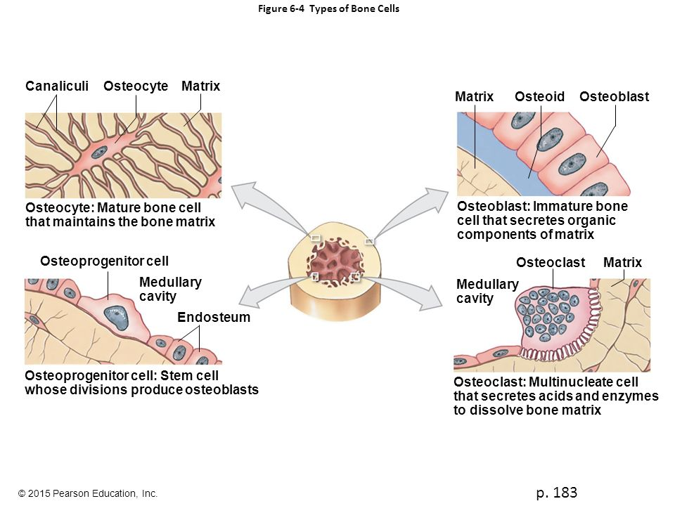 What Are Mature Bone Cells Called?