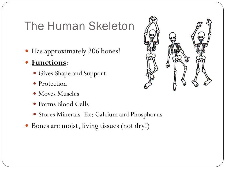the skeletal system chapter ppt download, Skeleton