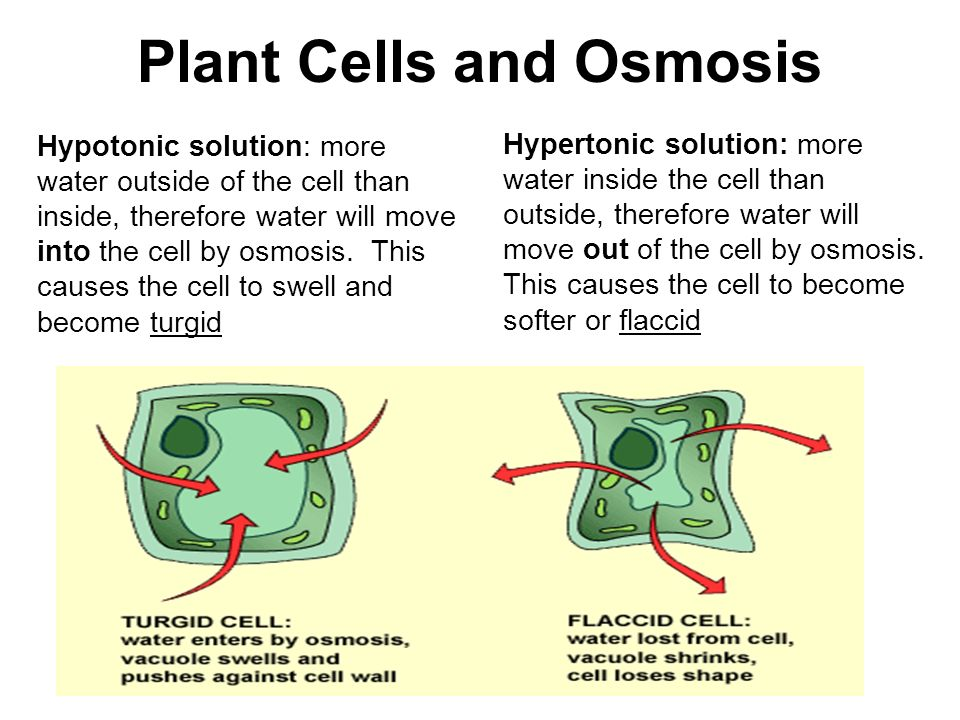 osmosis in plant cells essay In experiment 5 2 we investigate both animal and plant cells in different molar solutions and the different diffusion and osmosis are forms of essay custom.