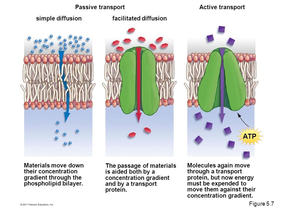 diffusion across permeable membrane