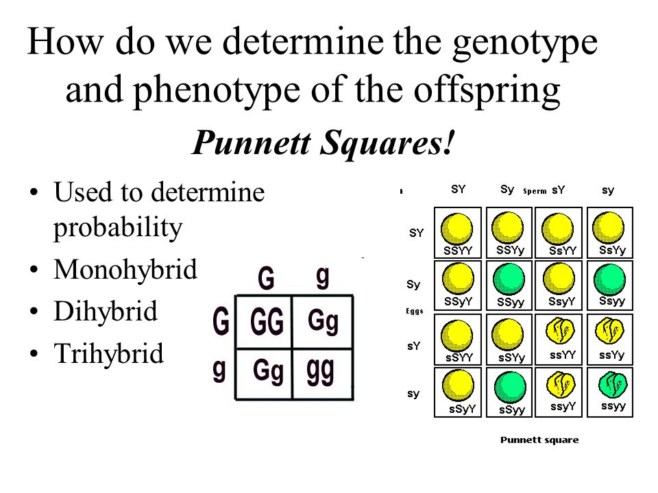 2 how does an organism s genotype determine its phenotype The genotype basically is the genes present the genes are transcribed to  produce mrna the mrna is translated to produce proteins.