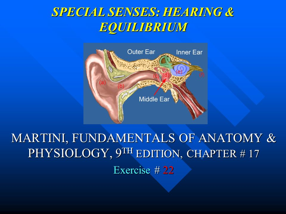 SPECIAL SENSES: HEARING & EQUILIBRIUM - ppt video online download