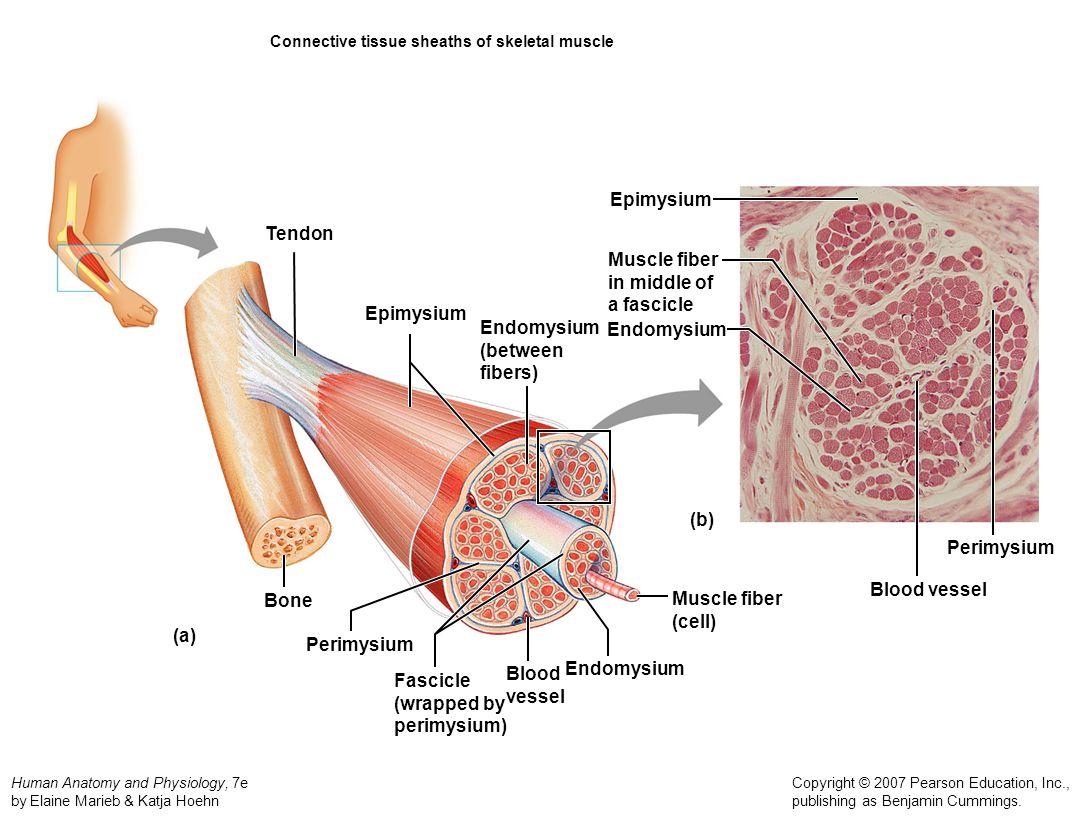 Skeletal muscle fiber diagram
