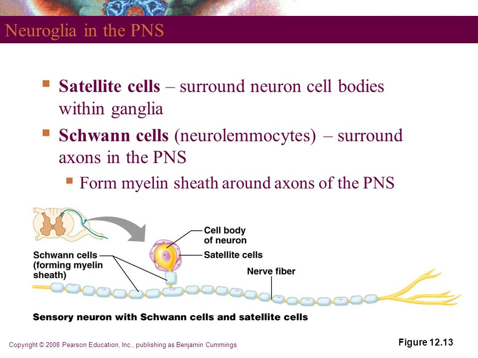 Fundamentals of the Nervous System and Nervous Tissue - ppt video ...