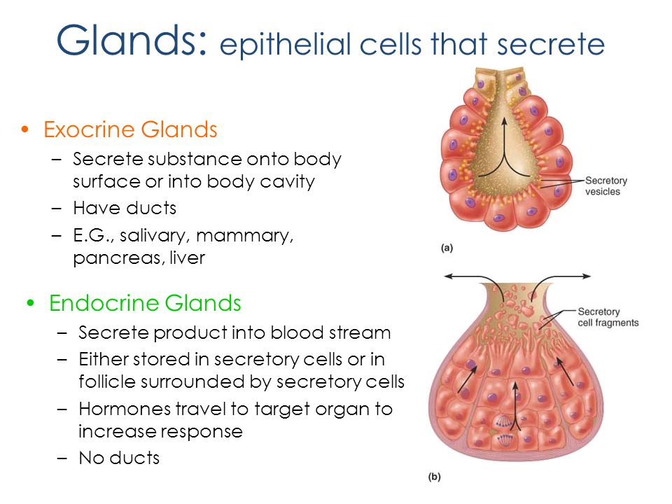 glandular epithelial tissue Tissues, part 2 - epithelial tissue: epithelial tissue creates inner & outer boundaries glandular epithelial tissue forms endocrine & exocrine.