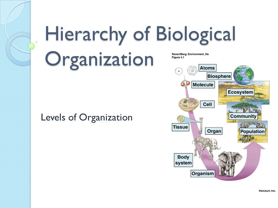 the hierarchy of biological organization Levels of biological organisation (hierarchy of increasing complexity) biosphere ecosystem community population organism organ system tissue cell subcellular component.