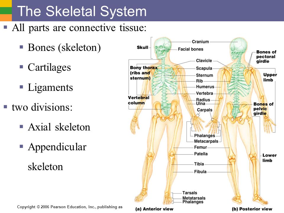 The Skeletal System All parts are connective tissue: Bones (skeleton ...