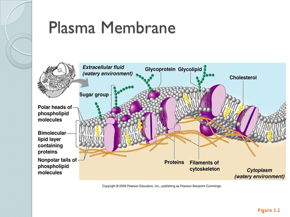 The Plasma Membrane Structure Anatomy amp Physiology - dinocro.info