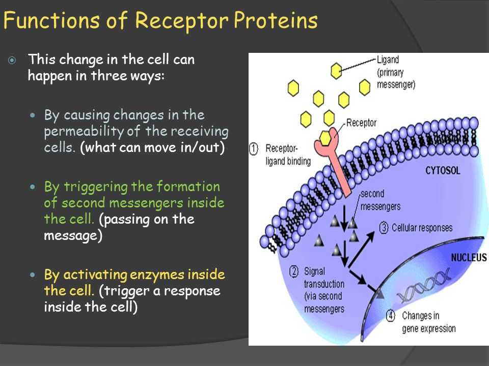what are the three functions of receptor proteins