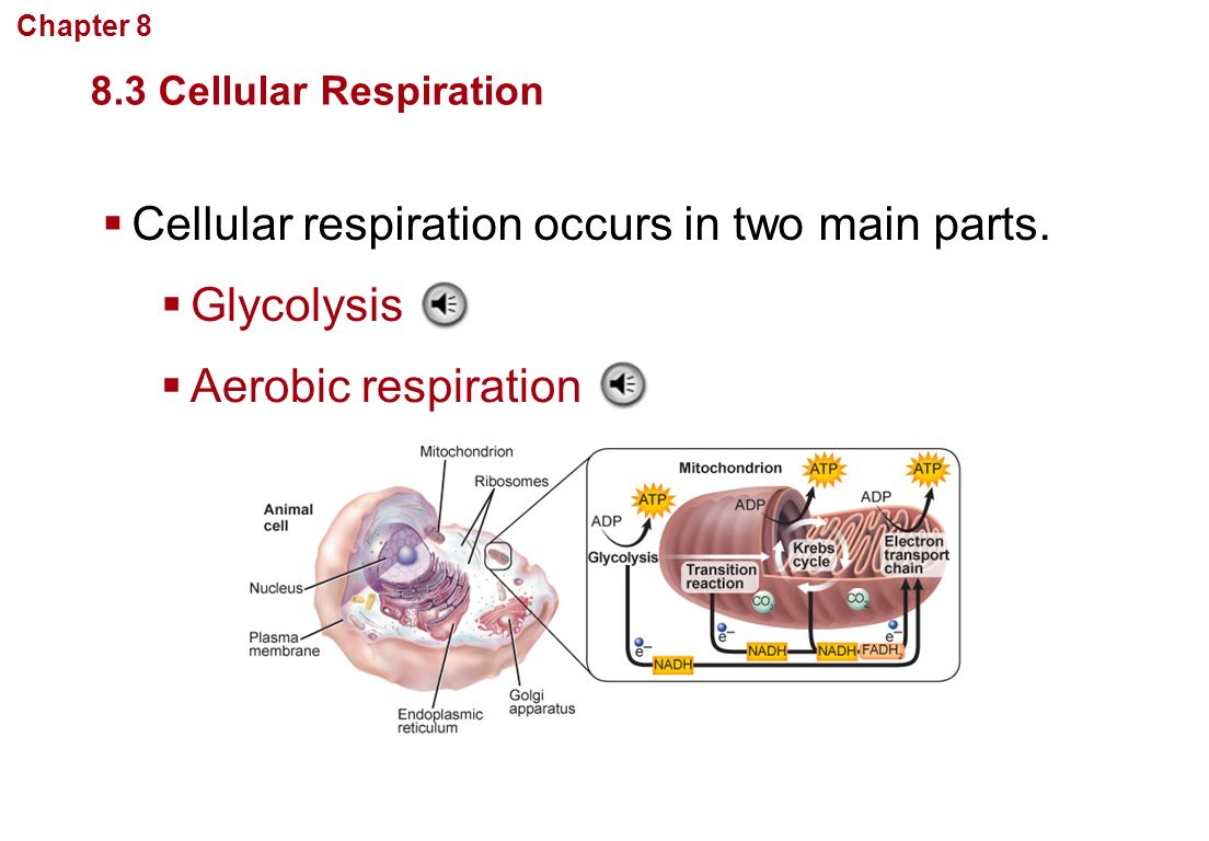 a study of cellular respiration