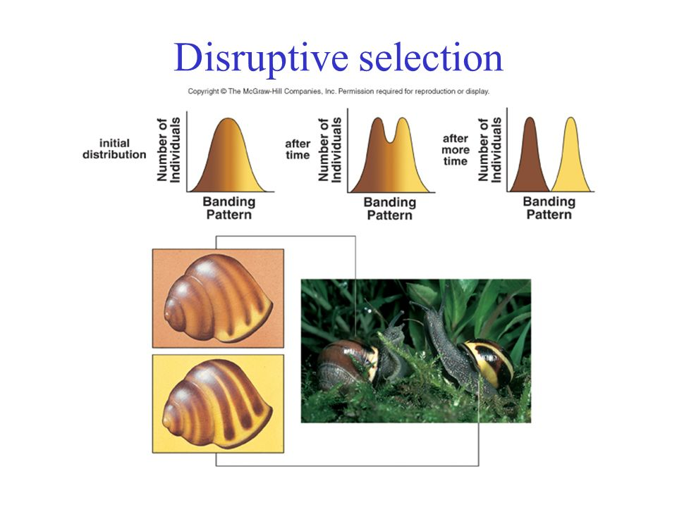 Disruptive Natural Selection Example