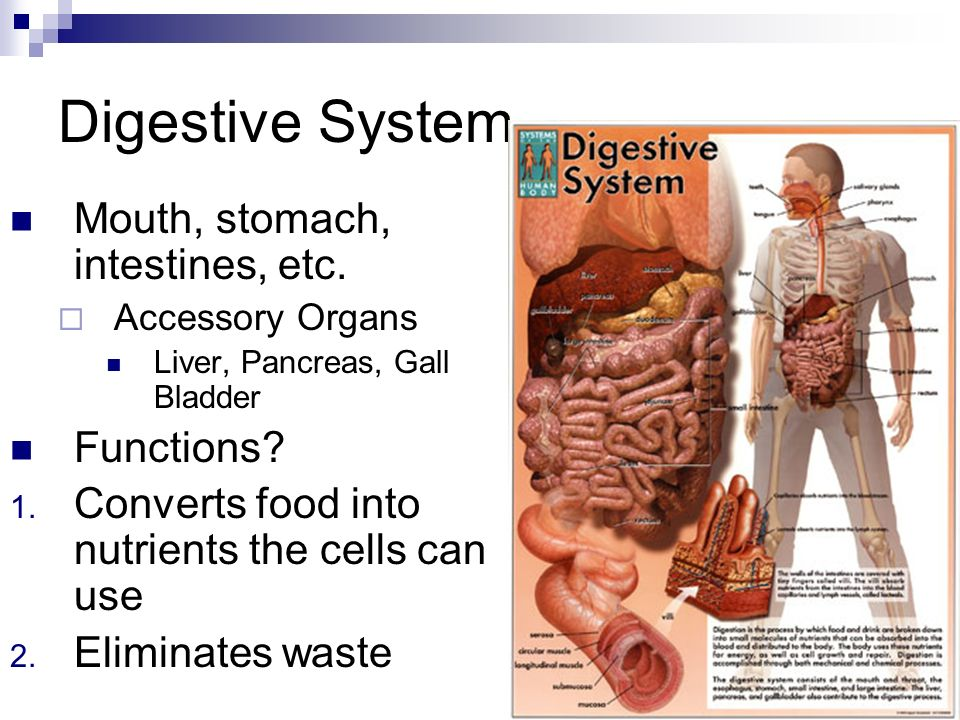 digestion describe digestion burger The human digestive system breaks down the food you consume, using as much of the nutrients as possible to fuel the body how does the human digestive system work.