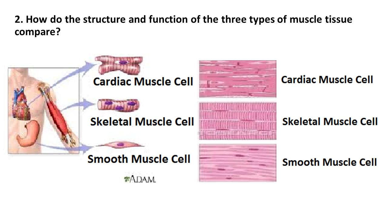 anatomy muscle tissue Anatomy and physiology 121: the muscular system review: cardiac muscle tissue cardiac striated anatomy of a muscle.