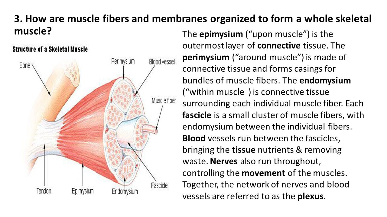 Interaction between Muscle and Bone
