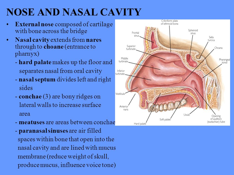6 NOSE AND NASAL CAVITY ...