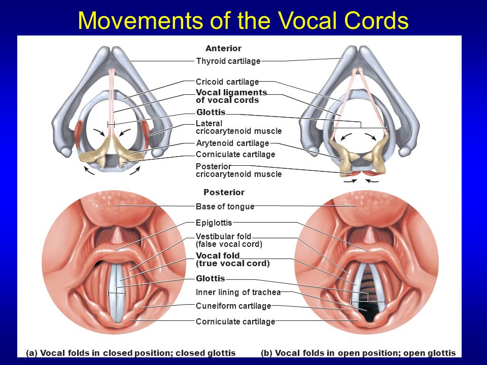 Movements of the Vocal Cords