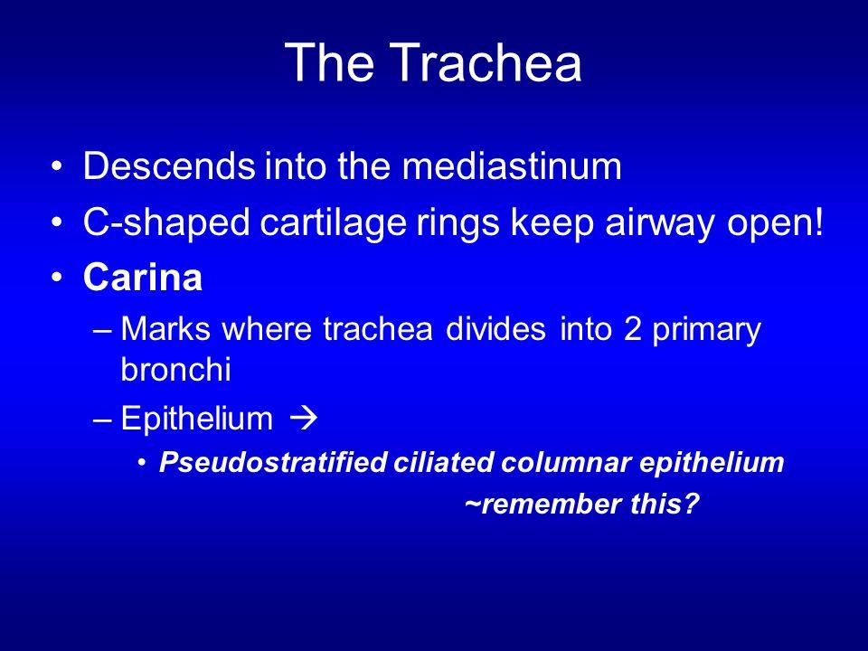 The Trachea Descends into the mediastinum