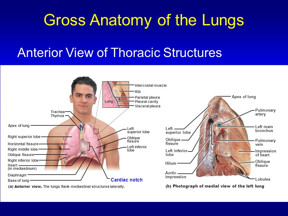 Gross Anatomy of the Lungs