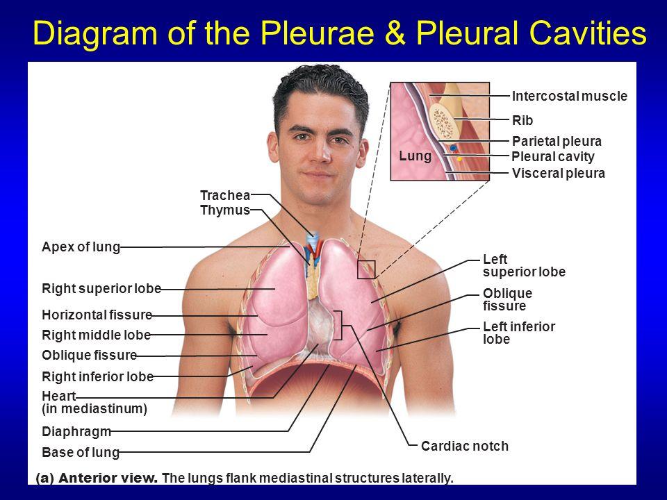 Diagram of the Pleurae & Pleural Cavities