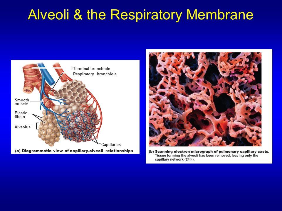 Alveoli & the Respiratory Membrane