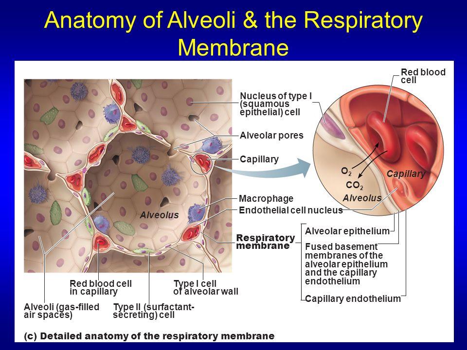 Anatomy of Alveoli & the Respiratory Membrane