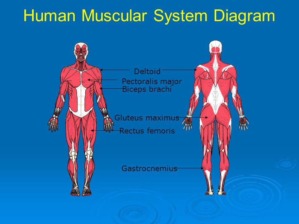 Pictures Of Simple Muscular System Diagram Rock Cafe