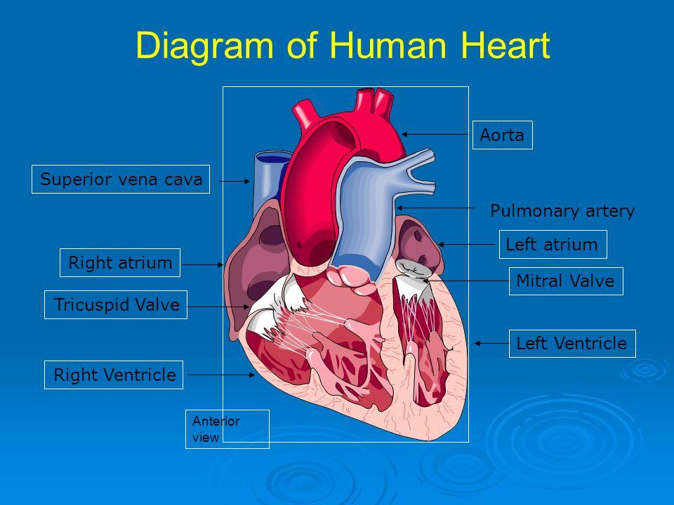 Human Heart Arteries Diagram