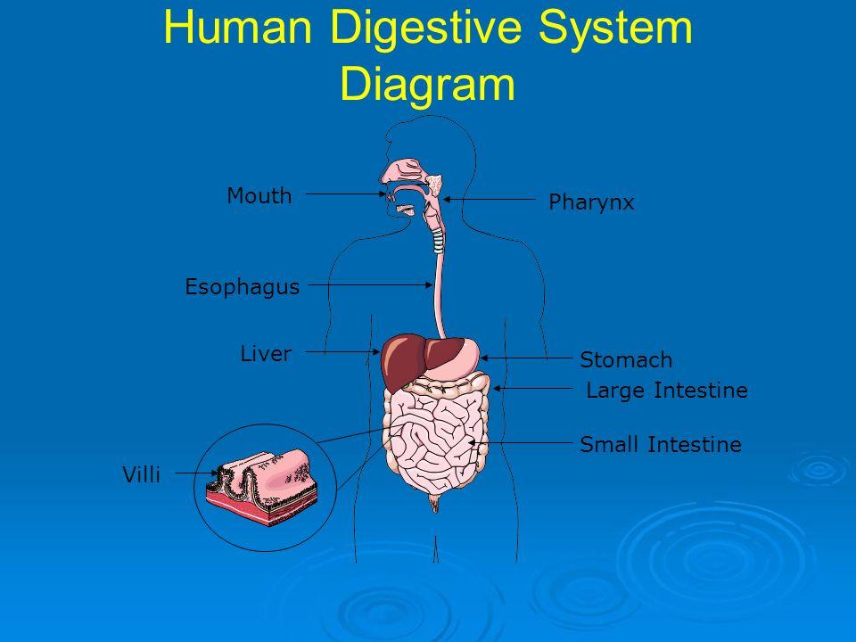 Human organ system diagram