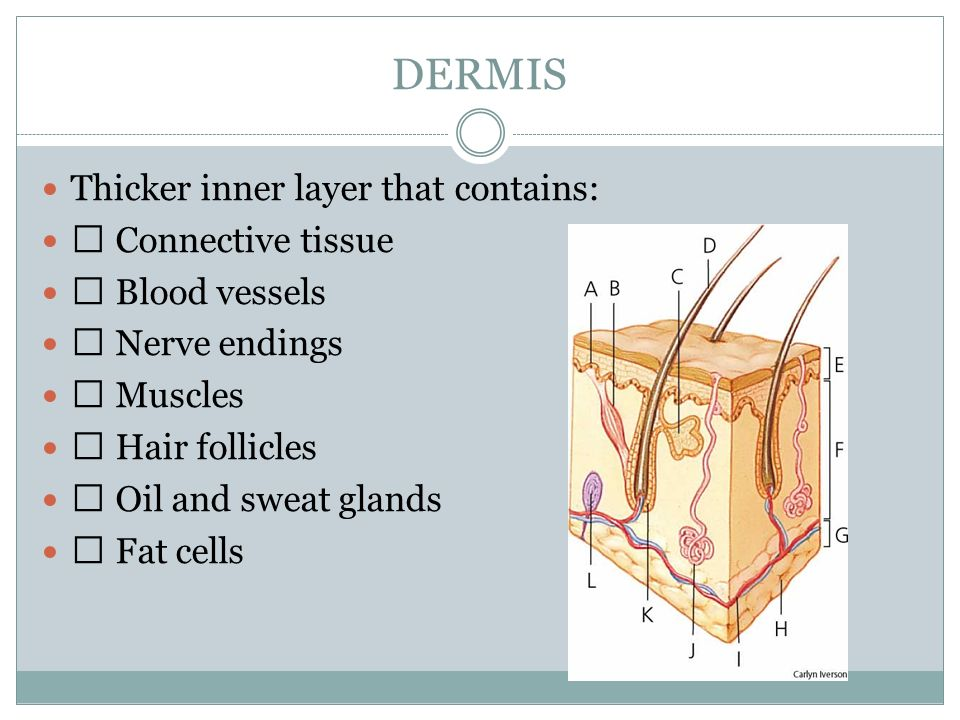 DERMIS Thicker inner layer that contains: ƒ Connective tissue