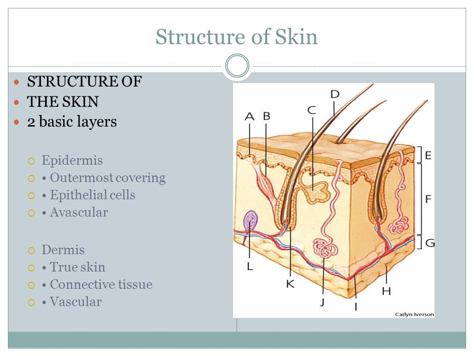 Structure of Skin STRUCTURE OF THE SKIN 2 basic layers Epidermis