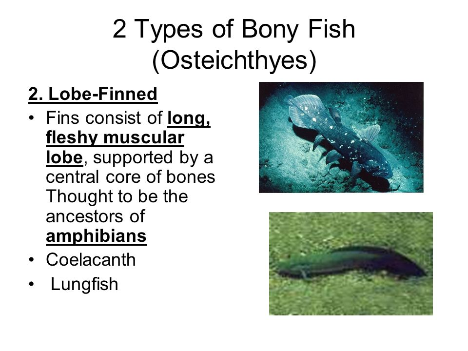 Bony fish ch 8 developed by dave werner occ biol ppt for Types of bony fish