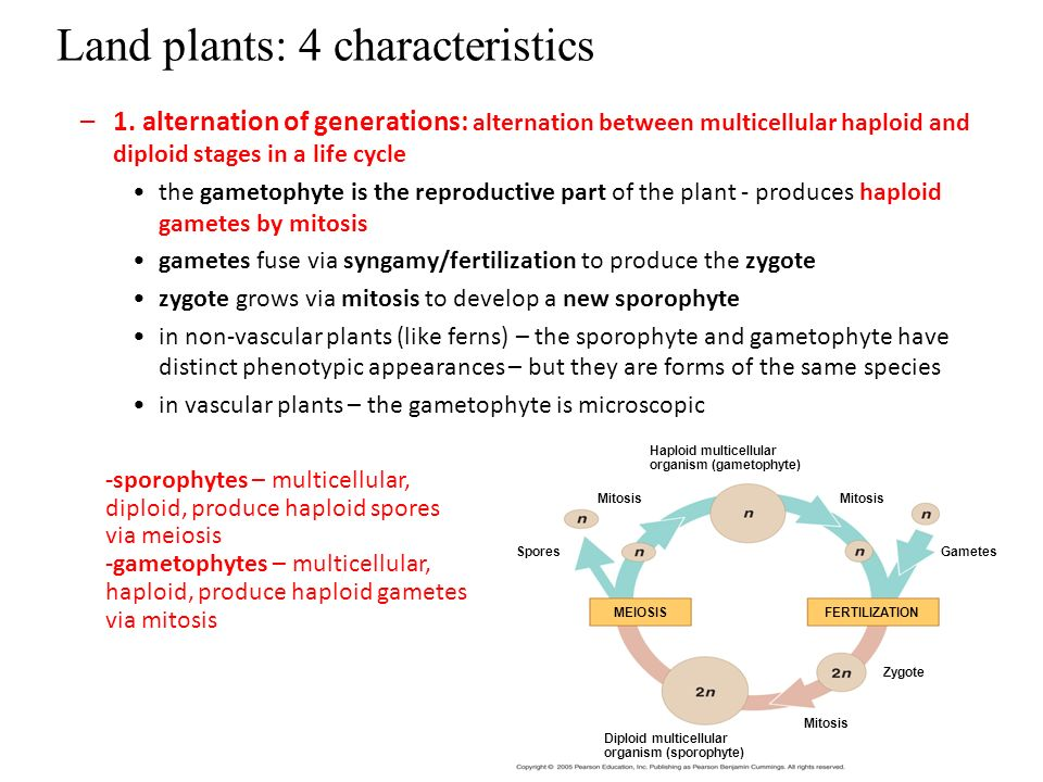 Seedless Vascular plants - ppt video online download