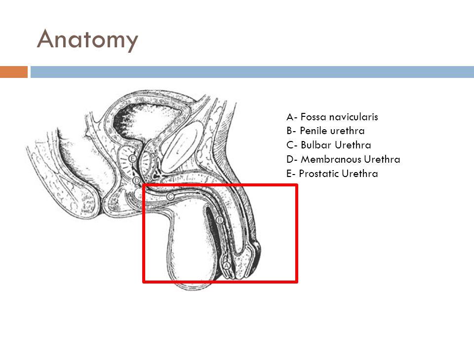 Anatomy A- Fossa navicularis B- Penile urethra C- Bulbar Urethra
