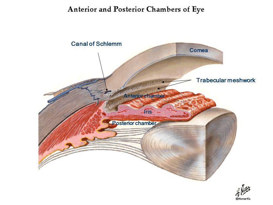 Internal Eye Anatomy