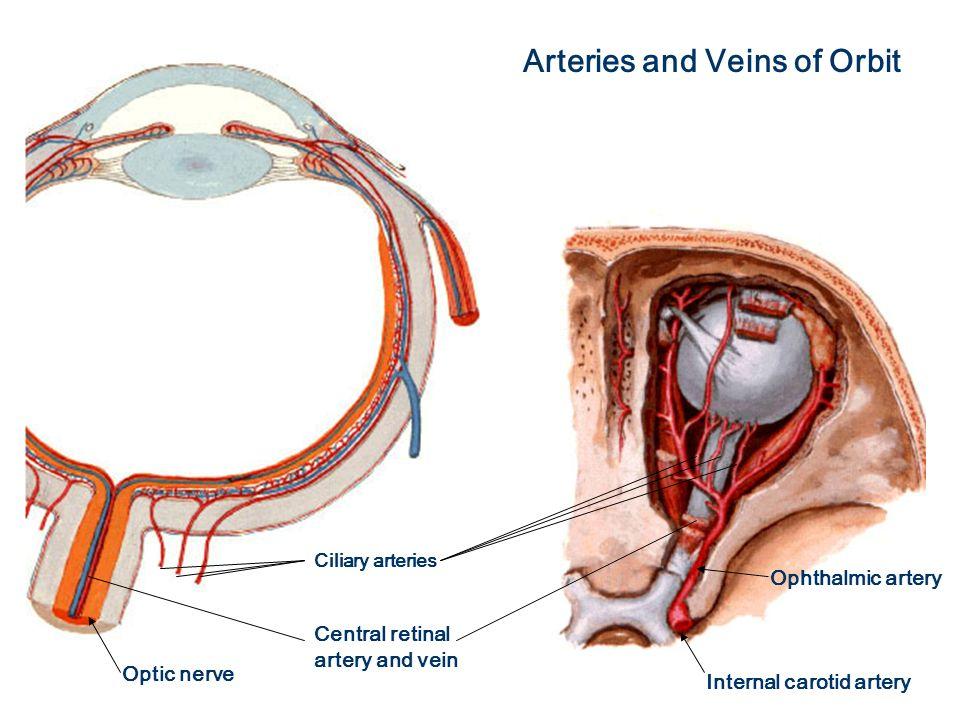 Erfreut Retinalen Arterie Anatomie Galerie - Menschliche Anatomie ...