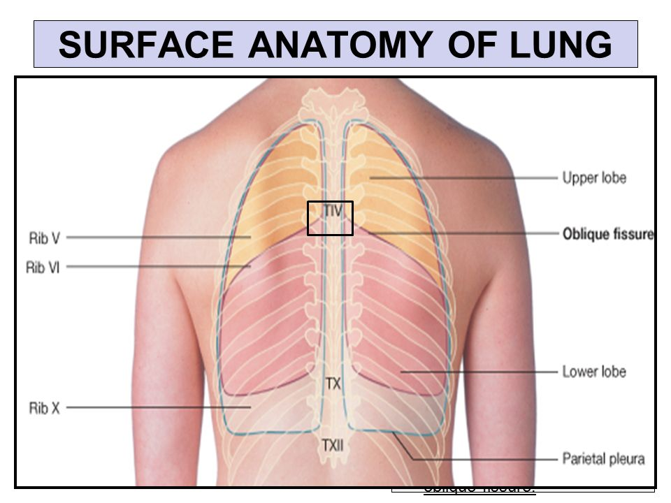 apex of lung - Vatoz.atozdevelopment.co
