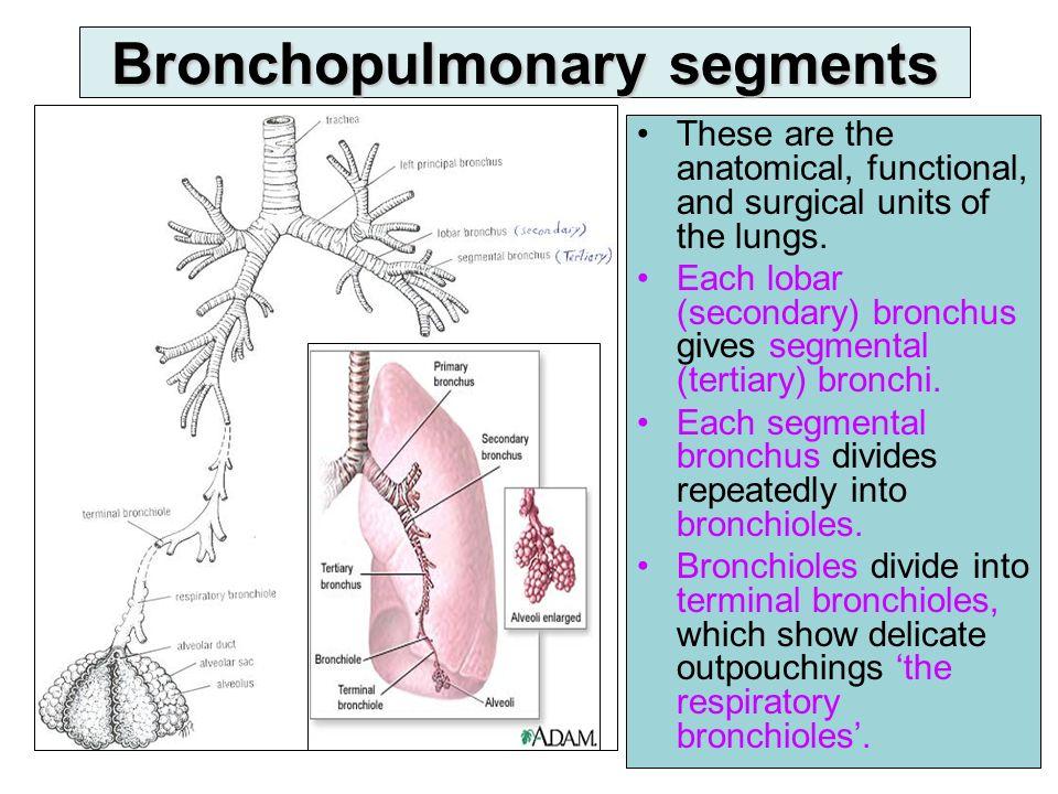 Fantastic Bronchopulmonary Segments Anatomy Image Collection Human