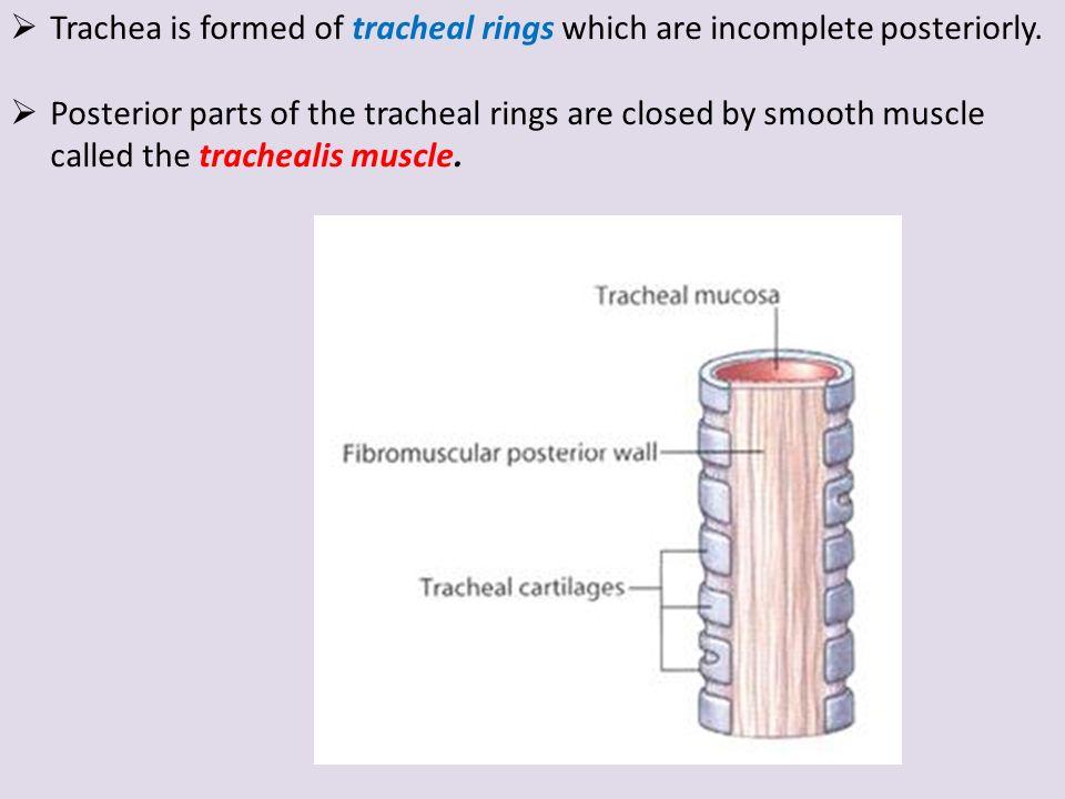 nose & associated structures larynx, trachea, pleura lungs, Human Body