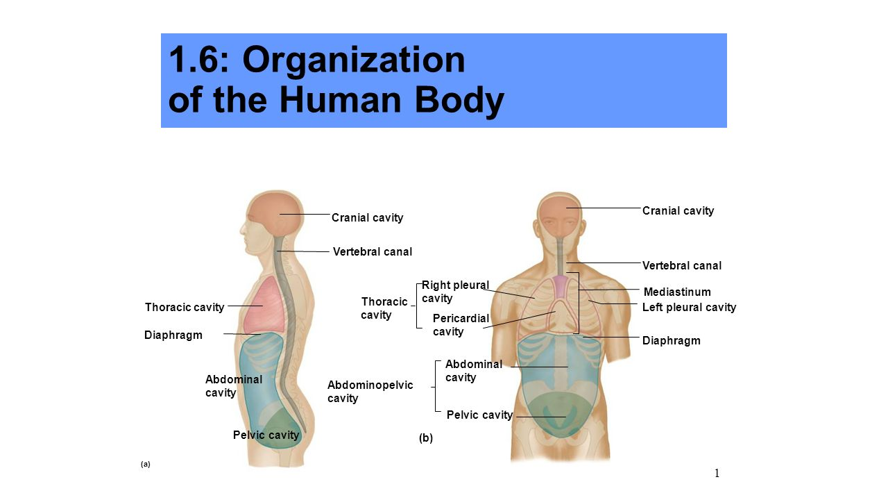 16 Organization Of The Human Body Ppt Video Online Download