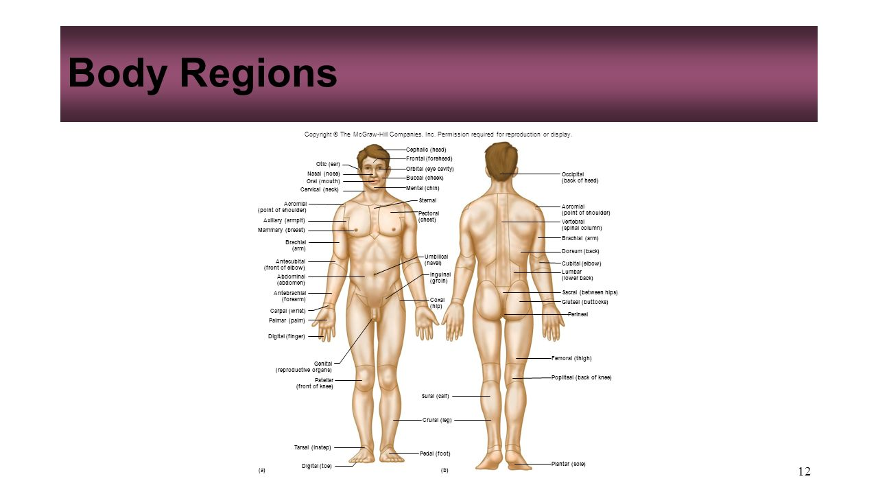 Tolle Anatomy And Physiology Body Regions Galerie - Menschliche ...