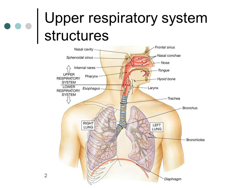 Anatomy of lower respiratory tract